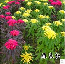 200pcs/lot amaranthus tricolor seeds Early Splendor grass seed, Foliage Plants Bonsai Flower free shipping