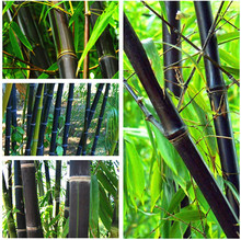 100PCS Black Bamboo Seeds Phyllostachys Nigra Bonsai Seeds Home Garden  flower pot planters free shipping