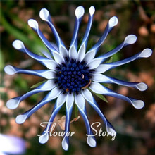 Free Shipping 50 Blue Daisy hardy plants flower seeds exotic ornamental flowers