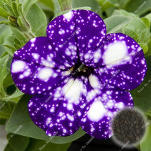 100 Seeds/Pack, Cherry Star Calibrachoa Morning Glory seeds, rare petunia seeds,bonsai flower seeds,plant for home garden