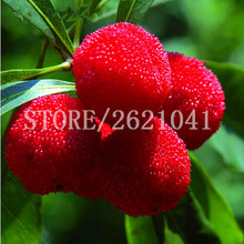 20 pcs Bayberry  Seeds | Myrica Rubra Berries | Bush Home Gardening Plant Decor DIY Heirloom Organic non GMO Edible Fruit
