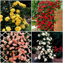 100pcs Mixed 4 Types Of Climbing Rose Seed perennial Pink Red White Yellow Rose Flowers Fragrant Climbing Plants For Home Garden(China)