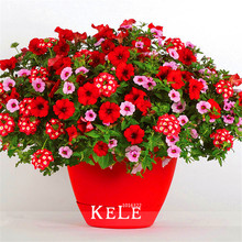 New Arrival!Park Glamorous Girl Mixed Garden Petunia Seeds,100 Pcs/Bag,Lipstick Candy Hearts and Feminine Beauty,#4U2V8Q