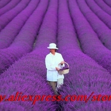 200seeds / bag french provence lavender seeds very fragrant organic lavender seeds plant flower Flower seeds Home Garden Bonsai(China)