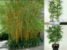 Potted plant seeds Bonsai 100 seeds bamboo seeds Home Garden Plant Fresh green bamboo Phyllostachys aureosulcata Spectabilis d85(China)