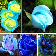 100pcs/bag Rare Blue Rose seed Flowers Seeds Lover blue seeds Home Garden plants rose flower seeds sent gift