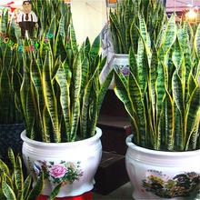 100 Pcs / Bag Sansevieria Seeds Potted Balcony Planting indoor plants flowers seed Cactus garden DIY PLANT Radiation Protection