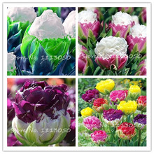 30PCS Tulip Seeds, Aroma Tulip Plants,Rare Ice Cream,Flower Pot Planters, DIY for Home and Garden,Bonsai Plants for Decoration