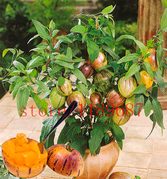 100 mini sweet melon seeds Melon Tree Non GMO-Orga
