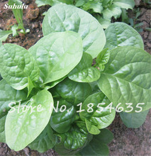 Promotions Chinese Vegetables Malabar Spinach Seeds Fresh Green Healthy Food Bonsai Potted Ornamental Plants 120 Pcs Hot Sale(China)