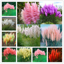 promotion Mixed Colors pampas grass Seeds Bonsai Balcony colorful grass Seeds best natural decoration for garden 200pcs/bag