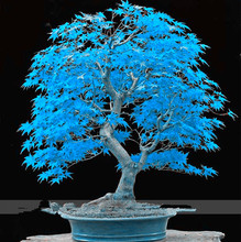 Very Rare American Blue Maple Bonsai Tree Seeds, 20 Seeds/Pack, Rare Japanese Maple Tree Seeds DIY potted plants for Home Garden(China)