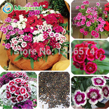 Hot 100PCS Multicolored Dianthus seeds, flower seeds, gorgeous DIY garden flower, bonsai yard balcony so easy to grow