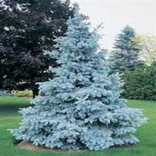 Tree seeds Home Garden Plant Evergreen Colorado Blue Spruce Picea Pungens Glauca Tree Courtyard planters 10 seed