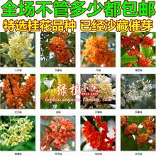 Osmanthus flower seeds seedlings potted plant seeds Osmanthus cinnabar Gui Fragrans 10 seeds