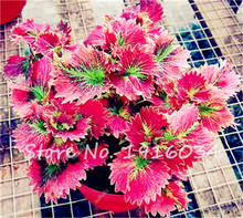 30 seeds/pack Mix Coleus Seeds Indoor Plant Seeds DIY Home Garden Plant Easy to Grow Decorative Begonia Grass Seeds(China)