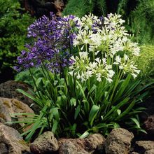 Marseed Rare Flower Seeds African Lily Agapanthus Lily Flower Bonsai Home Gardening DIY Bonsai Diy Plantings MAS169