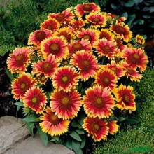 20 seeds/Pack Chrysanthemum seed Gaillardia Pulchella seeds Rare Beauty Flowers Home & Garden Plant Special color Flower