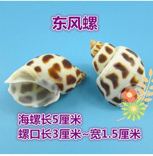 Decoration Crafts Natural conch shells hermit crab shell fish roll shell special aquarium decorations.5CM