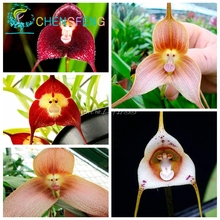 5pcs/Bag  Mixed Colourful Monkey Face Orchid Seeds Red Cream Potted Peru Flower seeds Orchis Simia Senior Phalaenopsis Bonsai