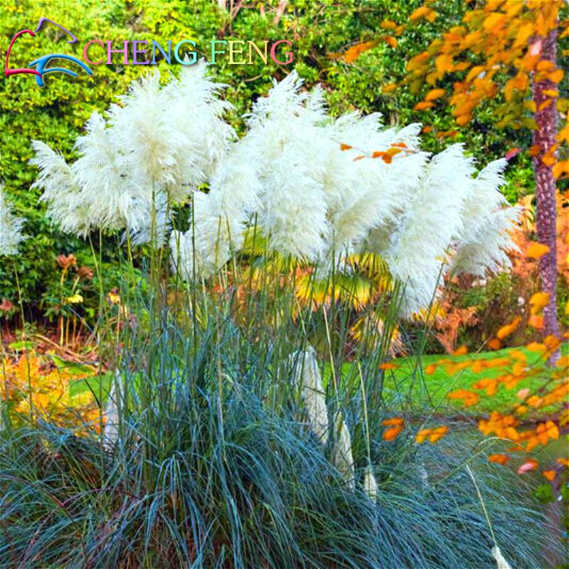 200 Pcs Pampas Gr Seeds Patio And Garden Potted Ornamental Plants New Flowers Pink Yellow White Purple Cortaderia Gres In Bonsai From Home