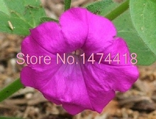 50+seeds/pack Laura Bush Glowing Magenta Petunia Flower Seeds / Annual Garden Bonsai(China)