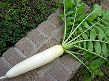 Daikon Radish, Japanese Heirloom 100 seeds non GMO, mild, super nutritious, easy to grow, makes great sprouts, kim chi