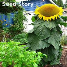 20 Pcs Sunflower Seeds Giant Sunflower Plants Rare Flower Seeds For Home Garden Planting 2016 Japon Tree Sementes Hot Sale