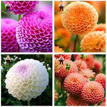 Hot Sale 50 Dahlia Seeds Pompon Flowers Plants Beautiful Garden Gorgeous Flower Sementes Mix Color New Bonsai Plant Pot Seed .