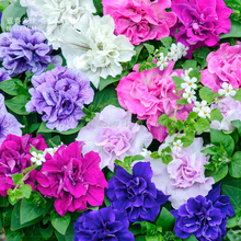 Mixed Double-petalled Hanging Petunia Hybrid Seeds, 200 seeds, professional pack, a must for hanging baskets E4098(China)