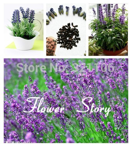 Aliexpresscom Buy Free Shipping 100 Lavender Seeds hardy and