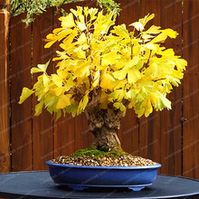 Heirloom Organic Ginkgo Biloba Gingko Maidenhair Tree Seeds Nuts Bonsai Tree Grown From Seed Plant Pot For Home Garden 5 Pcs/Bag