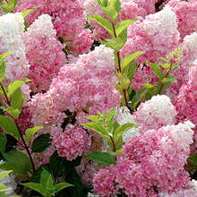 Marseed 50pcs Indoor Flower Seeds Vanilla Strawberry Hydrangea Rare Plant Seeds For Home Gardening Perennial Bonsai MAS002