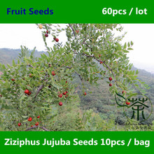 Widely Cultivated Ziziphus Jujuba Seeds 60pcs, Strong Adaptability Chinese Date Tree Seeds, Unique Species Red Date Fruit Seeds