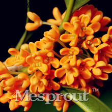 Perennial Osmanthus Fragrans Seeds, Seeds Mixed Color Flower Sementes Garden 20pcs Courtyard fragrant flower seeds