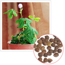 Mimosa of Singular plant seeds, simple planting, home garden, flower magic, Indoor potted the plants,bonsai