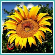 20 Giant Sunflower Seeds  DIY Home Garden potted or yard flower plant