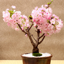 Free Shipping 5 Pink Cherry Tree Seeds,DIY Home Garden Mini Bonsai,easy growing