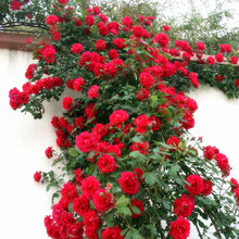 Hot Sell Rare Rose Tree Seeds Chinese Lovely DIY Potted Beautiful Balcony Yard Flower Plant Easy To Grow Home Garden 50 Pcs(China)