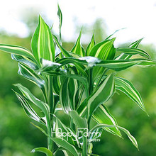 Hot Sale!Rare Silver Heart Lucky Bamboo Seeds Absorb Dust Tree Seeds Anti Radiation Dracaena Home Garden,100 PCS/Bag,#AKS9F3