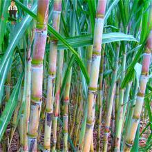 100pcs Sugar Cane Seeds Happy Farm Perennial Sugarcane Sementes Bonsai Plants Vegetable And Fruit Seeds For Home * Garden tree