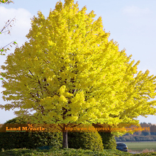 Giant Japanese Yellow Maple Tree Bonsai Seeds, 10 Seeds/Pack, Outdoor Ornamental Landscape Plant SOW ALL YEAR(China)