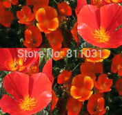 50 RED - CALIFORNIA POPPY Flower Seeds - FOR DROUGHT TOLERANT HOT CLIMATE Areas - GREAT FOR CUT FLOWERS .free shipping