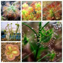 free ship Sundew Clip Venus Flytrap Seeds Insectivorous seed Garden Plant Seeds Bonsai Family Potted-40 seeds