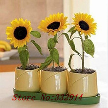 Sale!100 Seed Rare Garden Mini Sunflower Seeds flower seeds , ideal decorative garden flower, bright color , pot , yard