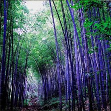 Rare Purple Timor Bamboo Seeds Bambusa Black Bamboo Seeds Planted Courtyard 80 pcs/package