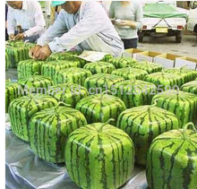 20 pcs SQUARE WATERMELON SEEDS SWEET FRUIT SEEDS NEW GENERATION SCARCE HOME GARDEN courtyard PRECIOUS HEIRLOOM