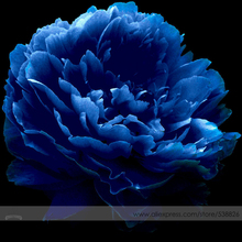 Very Rare 'Luo Yang' Dark Blue Tree Peony Flower Seeds, Professional Pack, 5 Seeds, New Variety Light up Your Garden NF736