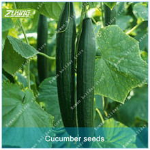 ZLKING 100 Pcs Chinese Long Cucumber Bonsai Seeds Organic Seed Vegetables Natural Non GMO Nutritious Can Be Eaten Directly