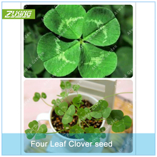 ZLKING 200pcs Lucky Four Leaf Clover Grass Bonsai Seeds Decoration Grow Your Own Luck Interest Countryside DIY Flower Seeds